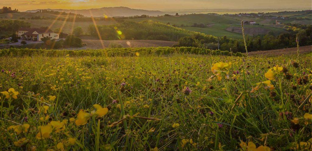 Distesa di Ranuncoli al tramonto sui colli