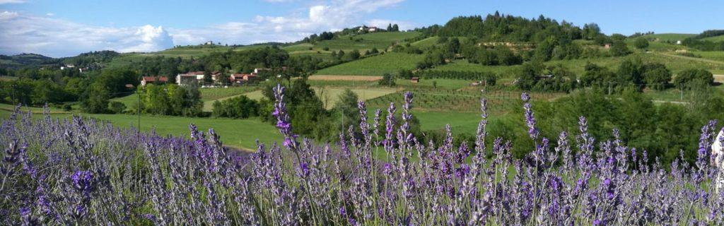 fioritura lavanda monferrato