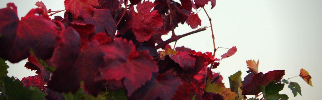 foglie di vite rosse in autunno