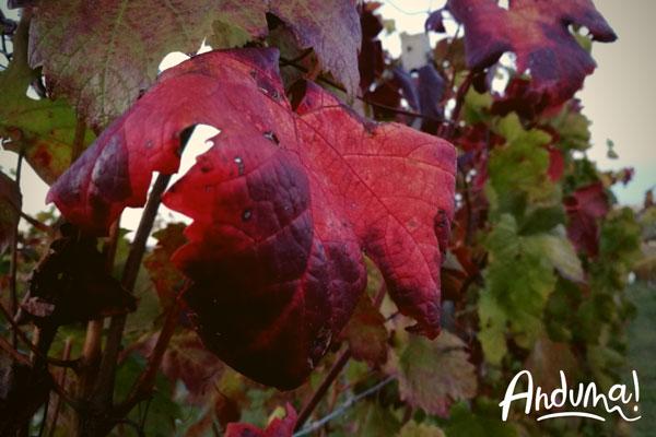 foglia di vite rossa in autunno